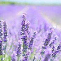 lavender blossom 1595581 1280 1 200x200 - オンライン無料法律談について